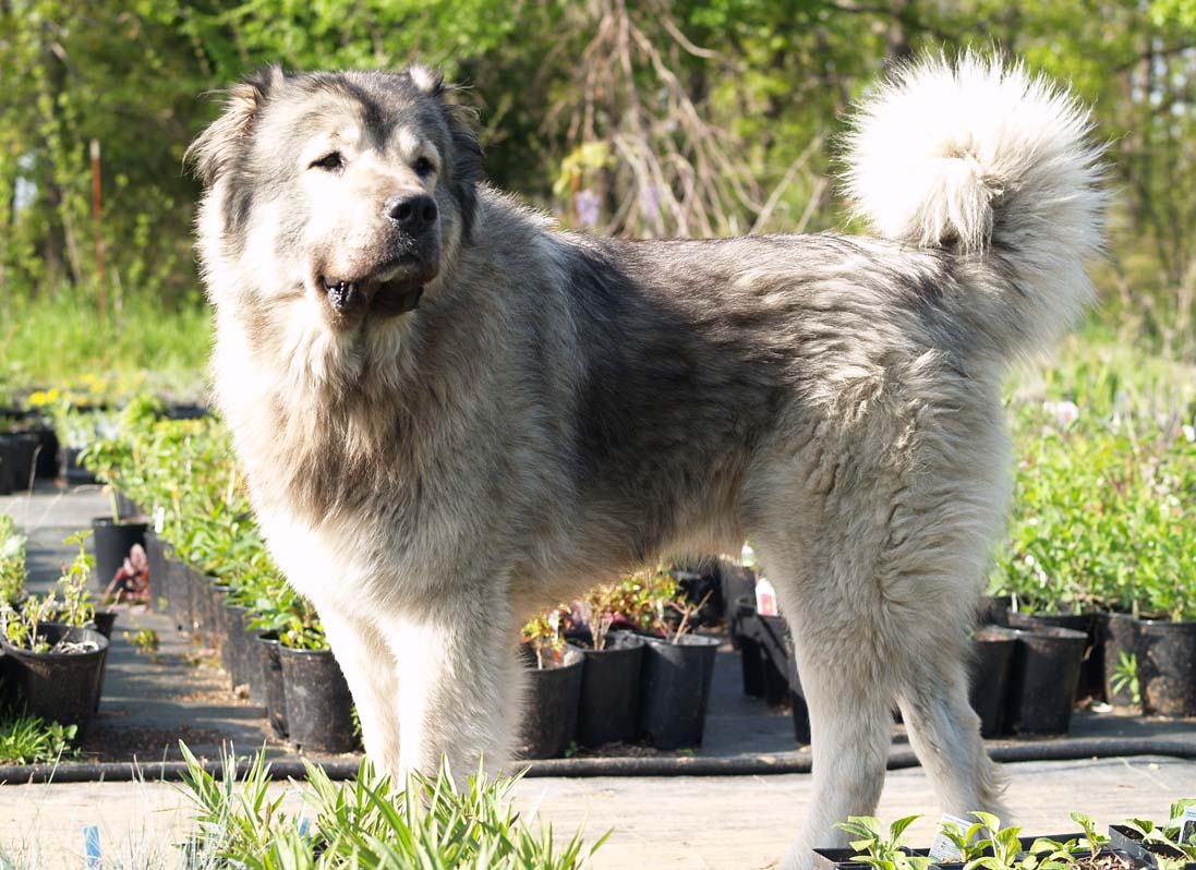 following names: Caucasian Mountain Dog, Caucasian Ovcharka, Caucasian